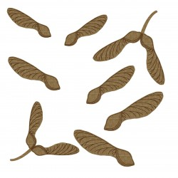 Maple Tree Seeds (Helicopters)
